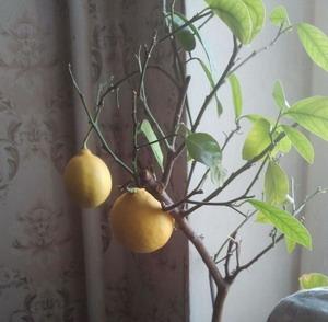 Памела выращивать в домашних условиях